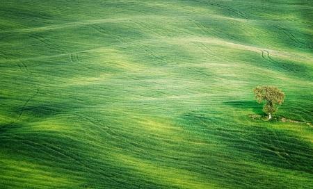 The tree in a corn field in the Italian Tuscany