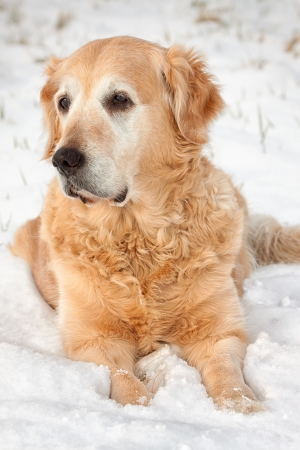 Lovely golden retriever playing in the snow photo