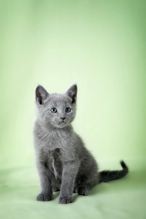 Kitten  breed  Russian Blue   on a green background photo