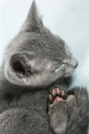 coon: Sleeping kitten  breed  Russian Blue   on a blue background Stock Photo