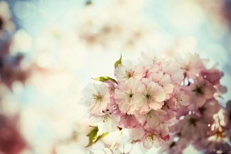 Vintage photo of white cherry tree flowers in spring  Standard-Bild