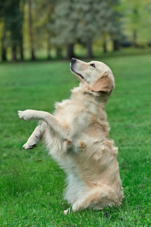 begging: Golden retriever sitting up and begging Stock Photo