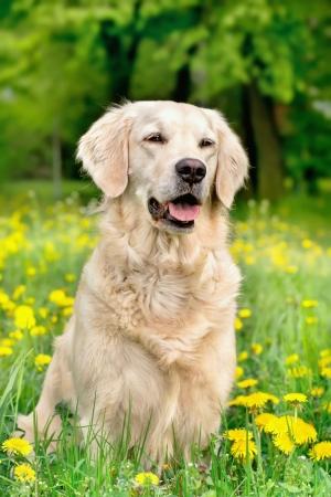 golden daisy: Happy Golden Retriever in flower meadow of yellow dandelions