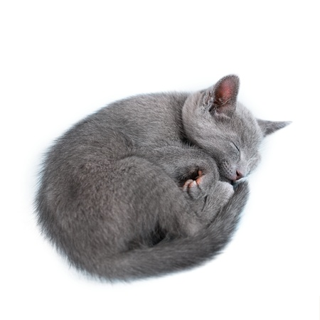 cat sleeping: Sleeping kitten  breed  Stock Photo