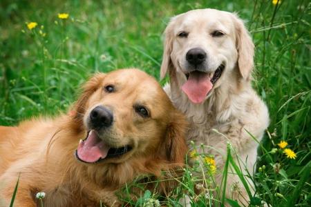 cani che giocano: Ritratto di due cani giovani giocando nel prato