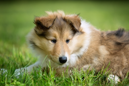 closeup puppy: Portrait of long-haired collie puppy Stock Photo