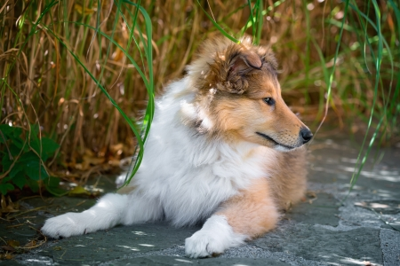 longhaired: Portrait of long-haired collie puppy Stock Photo