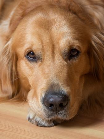 golden retriever: Portrait of a beautiful young dog - golden retriever