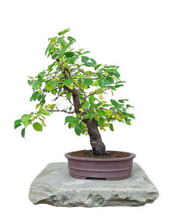 Bonsai tree with white background - Padellus mahaleb photo