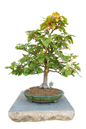 Bonsai tree with white background  -  beech forest photo