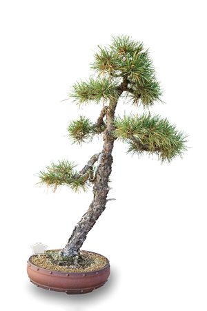 Bonsai tree with white background - Pine Forest photo