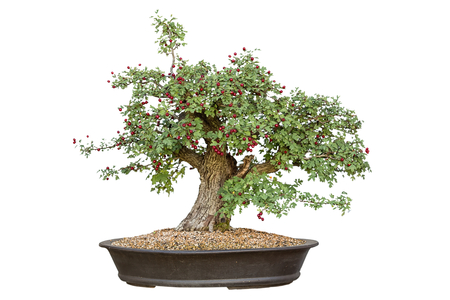 Bonsai tree with white background  photo