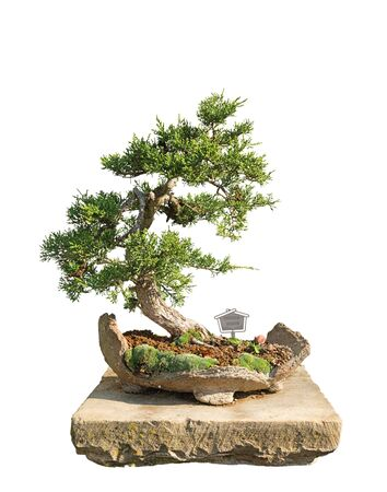 Bonsai tree with white background - Chinese juniper photo