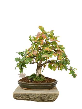 Bonsai tree with white background - Pedunculate Oak photo