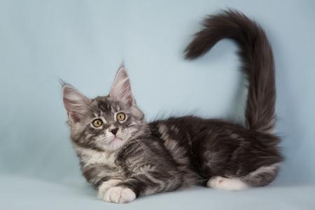 Retrato de la dulce gato Maine - COON
