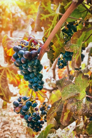 bunch of: Bunch of grapes in vineyard Stock Photo