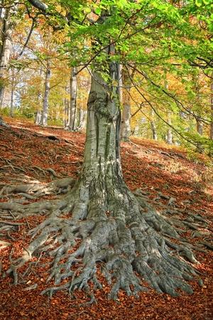 Le radici di un vecchio albero di faggio nella foresta di autunno