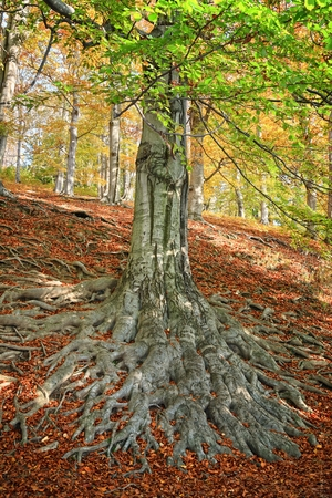 strong roots: The roots of an old beech tree in autumn forest