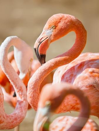 phoenicopterus: Alone flamingo on white background - Phoenicopterus ruber