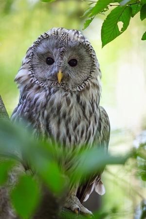 The Ural Owl Strix uralensis in the forest Stock Photo