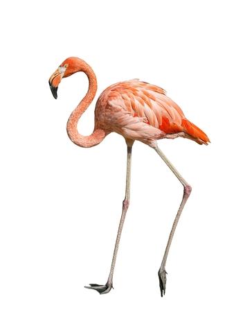 Alone flamingo on white background  - Phoenicopterus ruber