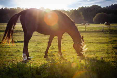 grazing: Portrait of a horse grazing in the sun backlighting