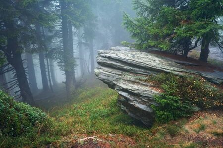 fog forest: Dark forest with fog in background