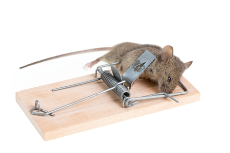 dead rat: The mouse in a mousetrap it is isolated on a white background Stock Photo