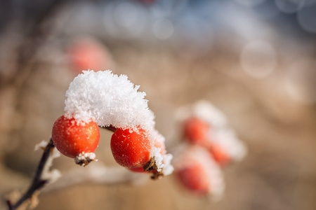 hoar frost: Red rosehip berries with hoar frost Stock Photo