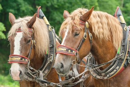 manes: The heads of two brown horses in harnesses with blonde manes side by side