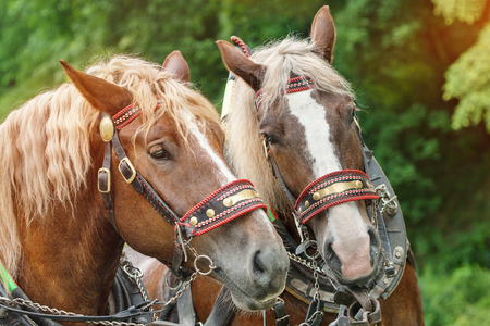 draft horse: The heads of two brown horses in harnesses with blonde manes side by side