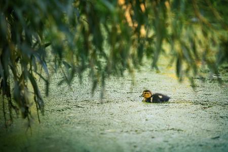 platyrhynchos: Mallard duck (Anas platyrhynchos) The small duck to water