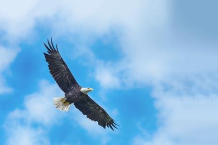 Águila calva americana que circunda en el aire