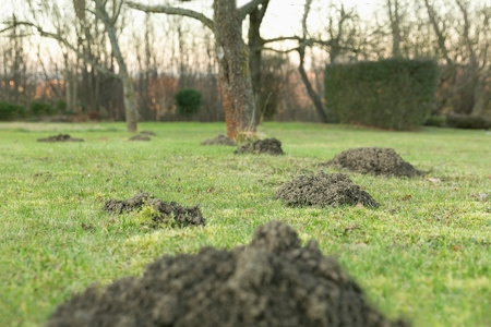 Earth mound of a mole on the garden, mound of a mole on the meadow