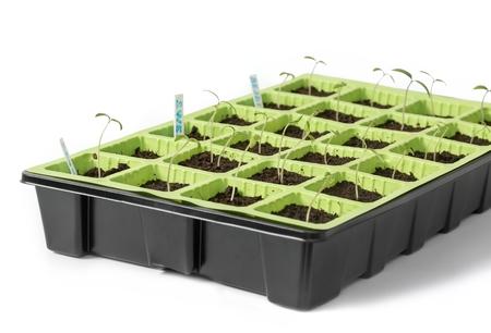 Selective Close-up of green seedling. Tomato seedlings, different varieties Reklamní fotografie