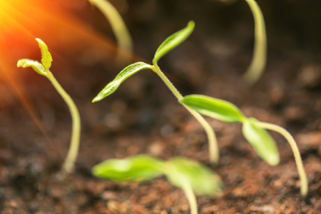 Plant seeding growing step with sunlight with. Agriculture concept in farm
