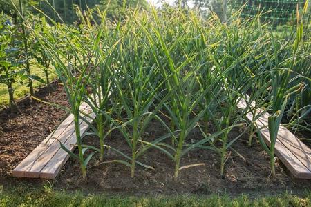 Garlic plants, just before harvest Reklamní fotografie