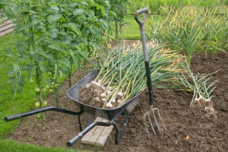 Freshly picked garlic bulbs on soil Reklamní fotografie
