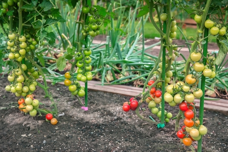 Gradually ripening tomatoes in the garden