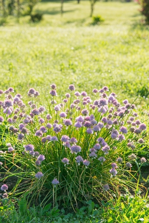 Purple blooming chives on a sunny vegetable garden bed Stock Photo