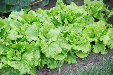 Detail view salad in the garden