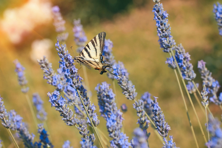 A yellow swallowtail butterfly, papilio multicaudata, on a lavender flower.