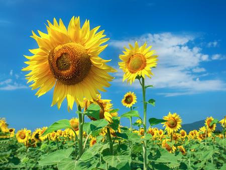 Bright yellow, orange sunflower flower on field