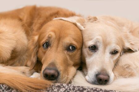 View of two dogs lying - Golden Retriever Reklamní fotografie