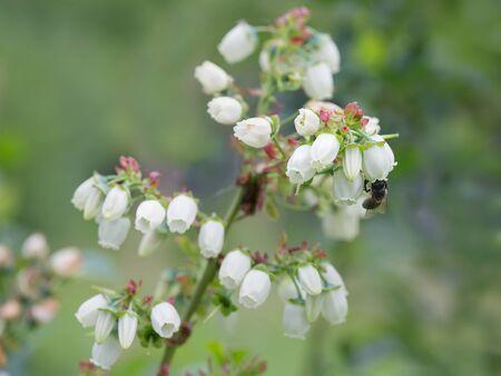 Macro shot of Canadian blueberry bushes flower