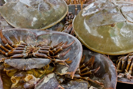 altogether: many king crabs stay altogether