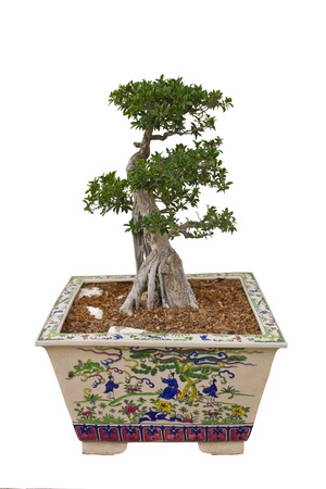 A bonsai tree in ceramic pot. photo