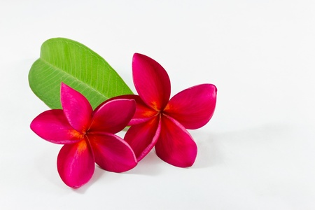 Plumeria purple on white background.