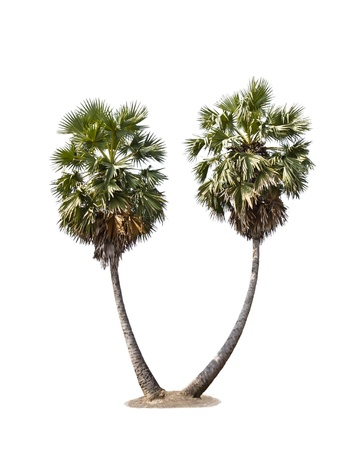 Two palm trees on a white background Stock Photo - 11799010
