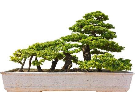 bonsai: The art of bonsai in the park.